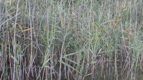 Lago natural com voz de Reed And Nature Voice Birds video estoque