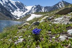 Lago nel giorno di primavera patens blu del pulsatilla sulla costa rocciosa del lago immagini stock libere da diritti
