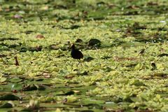 Lago nicaragua que camina en el agua Imagen de archivo