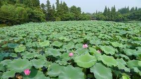 Lago ocidental Hangzhou, Lotus Stirred pela brisa no jardim de Quyuan imagem de stock royalty free