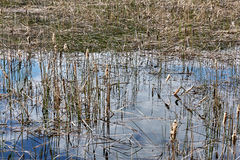 Lago overgrown con las cañas y la reflexión del cielo Fotos de archivo libres de regalías