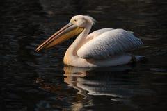 Lago pelican fotografie stock libere da diritti