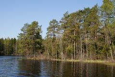 Lago pine nella sorgente Fotografie Stock