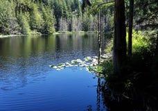 Lago pine no início do verão na montanha de Chuckanut Foto de Stock Royalty Free