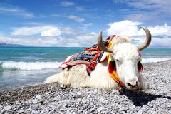 Lago plateau y yacs blancos imagenes de archivo