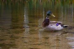 Lago pond de agua poco profunda de Duck Mallard Floating Standing Swimming fotografía de archivo