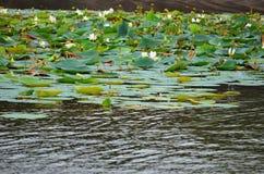 Lago por completo de la flor de loto, Srí Lanka imagen de archivo libre de regalías