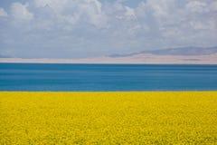Lago Qinghai e fiore della violenza Fotografie Stock Libere da Diritti