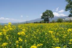 Lago Qinghai y flor de la violación Fotos de archivo libres de regalías