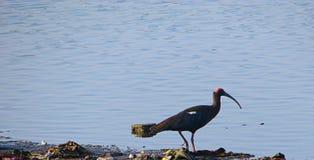Lago rojo-naped ibis Randarda, Rajkot, Gujarat Imagen de archivo