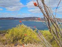 Lago Roosevelt Arizona In Bloom fotos de archivo