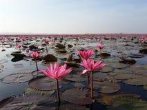 lago rosado del loto Fotos de archivo libres de regalías