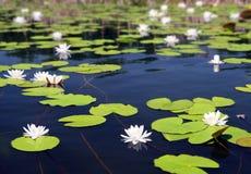 Lago summer con las flores del agua-lirio Imagenes de archivo