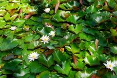 Lago summer con las flores del agua-lirio Foto de archivo libre de regalías