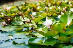Lago summer con las flores del agua-lirio Fotos de archivo