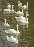 Lago swan. imagens de stock