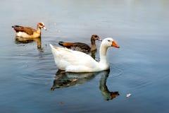 Lago swan Fotografia Stock