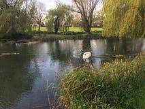 Lago swan imagem de stock royalty free