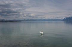 Lago swan Fotos de Stock Royalty Free