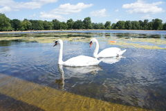 Lago swan Imágenes de archivo libres de regalías