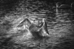 Lago swan Immagini Stock Libere da Diritti