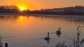 Lago swan fotografie stock