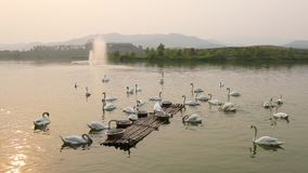 Lago swan almacen de video