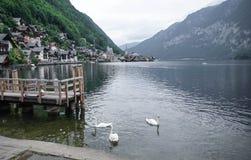 Lago swan di Hallstatt Austria 7 fotografia stock