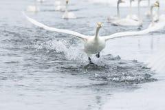 Lago swan en Hokkaido, Japón Foto de archivo libre de regalías