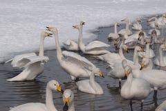 Lago swan nell'Hokkaido Fotografie Stock