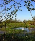 Lago swan sul fiume Neman Immagine Stock Libera da Diritti