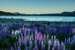 Lago Tekapo, Nueva Zelanda de los altramuces y Aroki Mt.cook imagenes de archivo