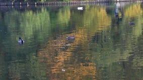 Lago tranquilo en el parque en un día claro en otoño temprano almacen de video