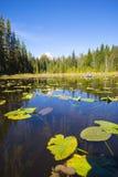 Lago Trillium con los lirios de agua y agua clara Imágenes de archivo libres de regalías