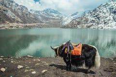 Lago Tsangmo de los yacs Foto de archivo libre de regalías