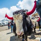 Lago Tsangmo dei yak fotografie stock libere da diritti