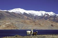 Lago Tsomoriri, Leh-Ladakh foto de archivo libre de regalías
