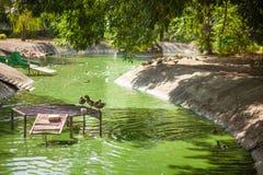 Lago verde con le anatre nello zoo Fotografie Stock Libere da Diritti