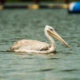 Lago Victoria Uganda Source pelican di Nile River fotografie stock