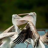 Lago Victoria Uganda Source pelican di Nile River immagini stock