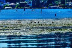 Lago Washington Reflections Juanita Bay Park Kirkla geese del Canada fotografie stock