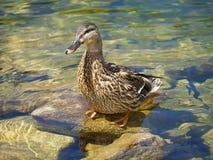 Lago wild duck Fotografia Stock Libera da Diritti
