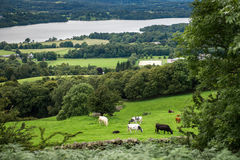 Lago Windermere dalla testa di Orrest sui prati con le mucche Fotografia Stock
