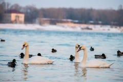 Lago winter con il cigno e la natura delle anatre immagine stock