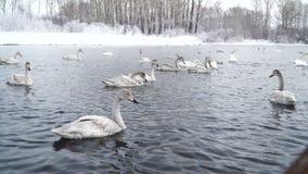 Lago winter Familia de flotador migratorio de los cisnes en agua potable Nadada salvaje 4k de los pájaros almacen de video
