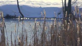 Lago winter Le canne asciutte ondeggia nell'inverno Paesaggio di inverno Riva di inverno video d archivio