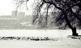 Lago winter, pássaros e cidade urbana Fotografia de Stock