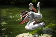 A lagoa é cercada pela grama três que os pelicanos nadam em um dia ensolarado fotos de stock royalty free