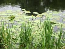 Lagoa bonita do lírio de água amarela na claro Habitat da natureza Paisagem subaquática fotos de stock royalty free