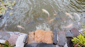 Lagoa bonita no parque com os peixes do koi da natação e o córrego de fluxo vídeos de arquivo